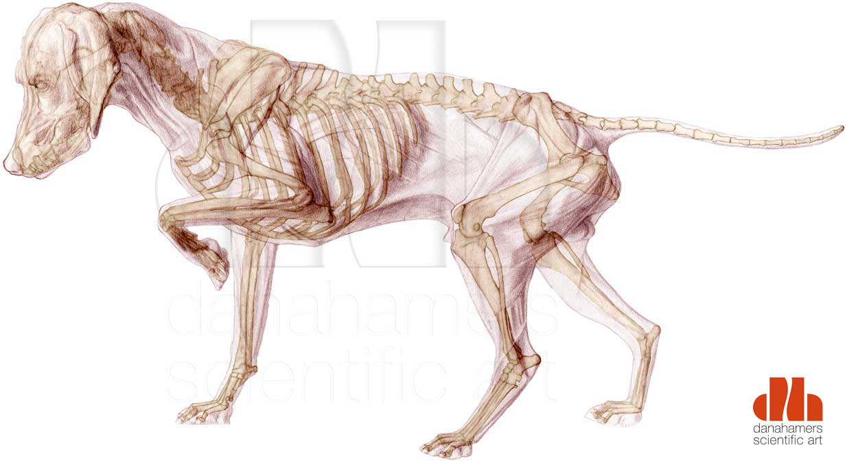Dog with skeleton