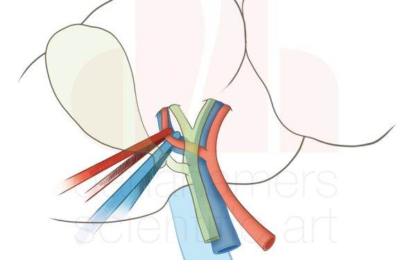 Liver, hepatica dextra